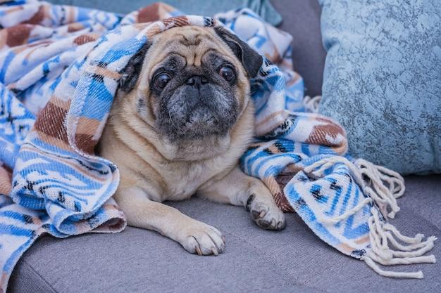 Pug fofo é embrulhado em um cobertor quente com ornamento azul.