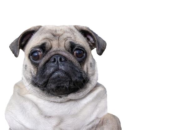 Pug gordo isolado em um fundo branco com espaço de cópia. olhos grandes e tristes. boca fechada. horizontal