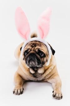 Pug triste fulvo bonito nas orelhas de coelho
