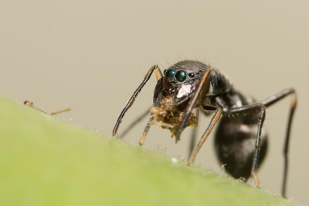 Pulando aranhas para formigas gigantes