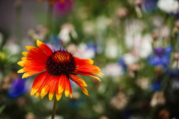 Pulchella de gaillardia contra flores azuis e brancas borradas.