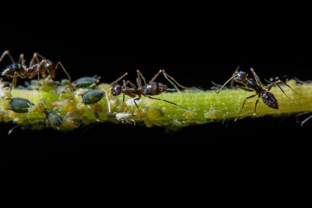 Pulgas macro com formigas