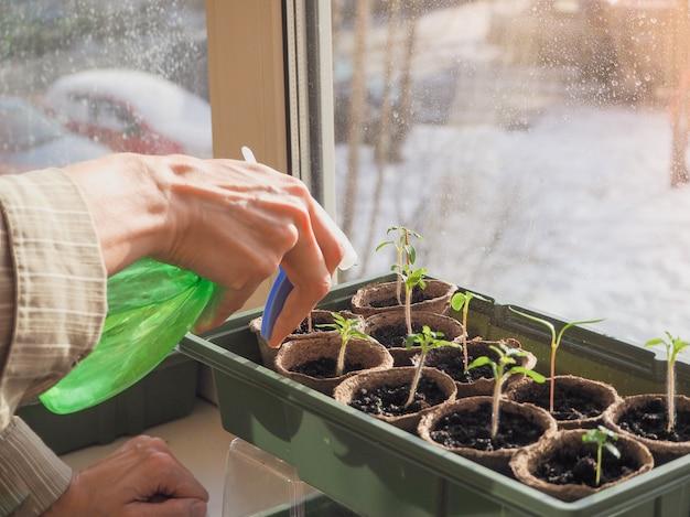 Pulverização de mudas. rega de brotos de hortaliças. um broto pequeno em uma panela de turfa. germinação de sementes na primavera.
