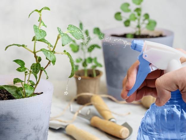 Pulverizar plantas em vasos com água de um borrifador azul.