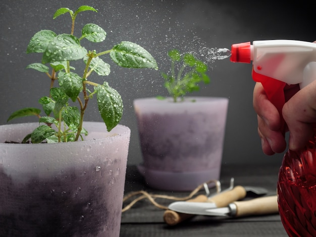 Pulverizar plantas em vasos com água de um borrifador