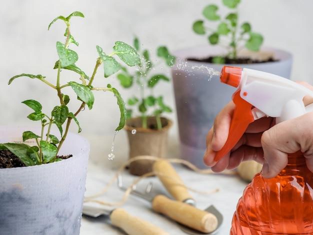 Pulverizar vasos de plantas com água de um borrifador vermelho.