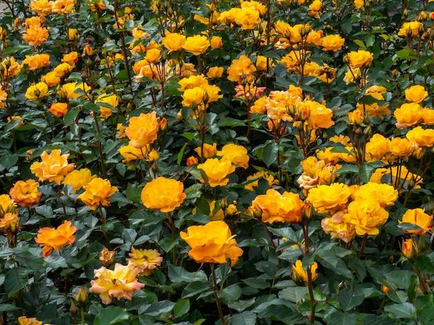 Pulverize rosas amarelas em um jardim de canteiro.