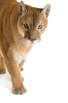 Puma (17 anos) - puma concolor isolado