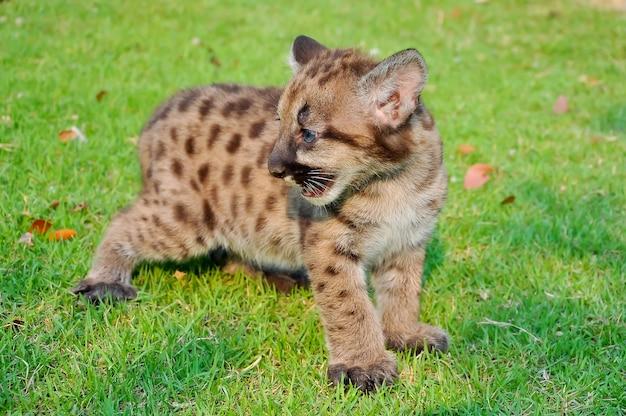Puma bebê