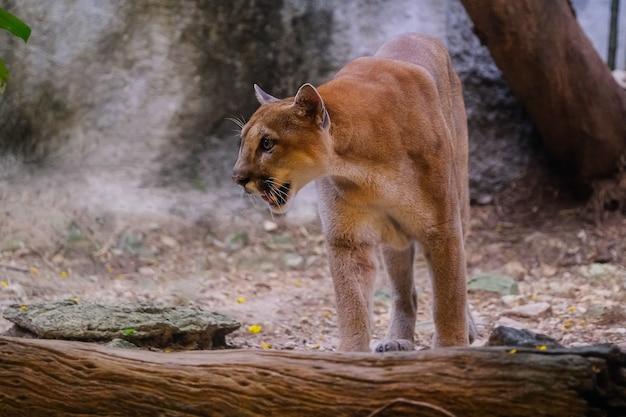 Puma macho adulto (puma concolor)