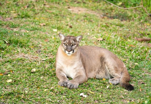 Puma ou puma descansando na grama verde