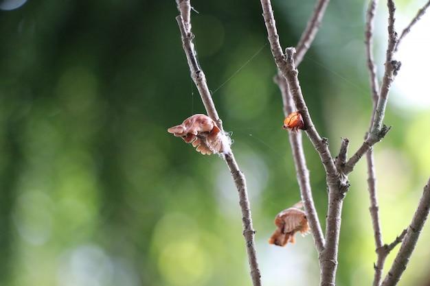 Pupa na árvore brancn no jardim ciclos de borboleta animal