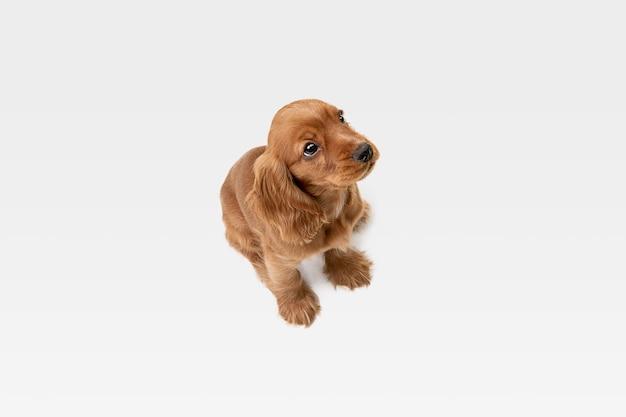 Pura juventude louca. jovem cão inglês cocker spaniel está posando. cachorrinho brincalhão ou animal de estimação está brincando e parecendo feliz isolado no fundo branco. conceito de movimento, ação, movimento.
