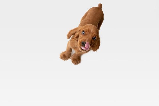 Pura juventude louca. jovem cão inglês cocker spaniel está posando.