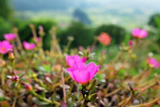 Purslane comum cor-de-rosa poucas flores de hogweed.