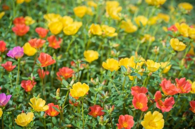 Purslane comum, verdolaga, pigweed, little hogweed, pusley.