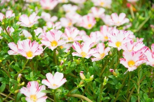 Purslane comum, verdolaga, pigweed, pouco hogweed ou flor pusley