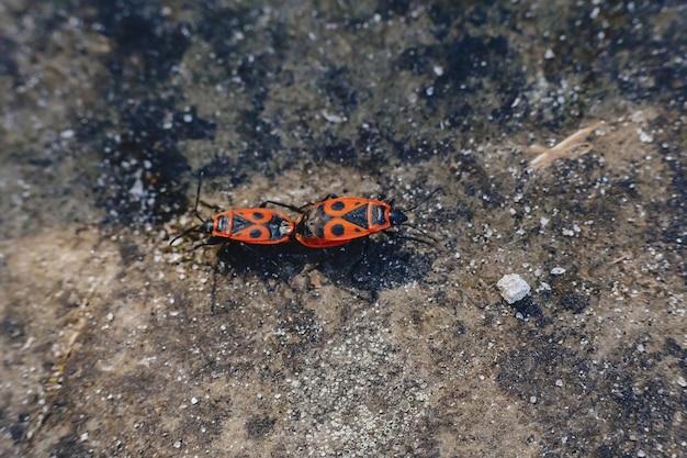 Pyrrhocoris apterus emparelhamento em fundo de pedra