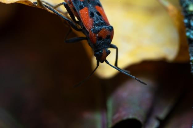Pyrrhocoris apterus olha para baixo de uma folha