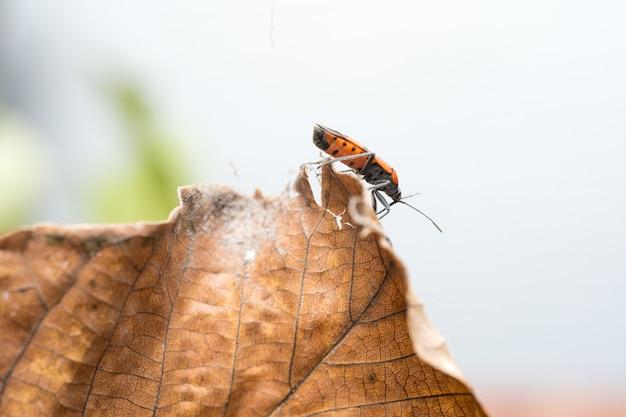 Pyrrhocoris apterus se move ao longo de uma folha de uma árvore