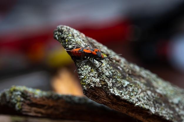 Pyrrhocoris apterus senta-se em uma casca de árvore