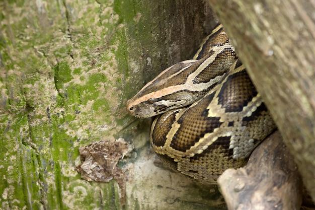 Python cobra enrolada no tronco da árvore.