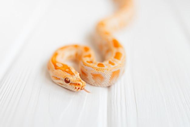 Python molurus albino close-up em plano de fundo texturizado branco. cobra de close-up para cobertura.