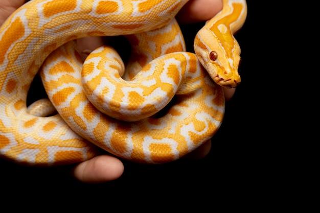 Python molurus bivitattus é uma das maiores espécies de cobras. é nativo de uma grande área do sudeste da ásia, mas é encontrado como uma espécie invasora em outros lugares