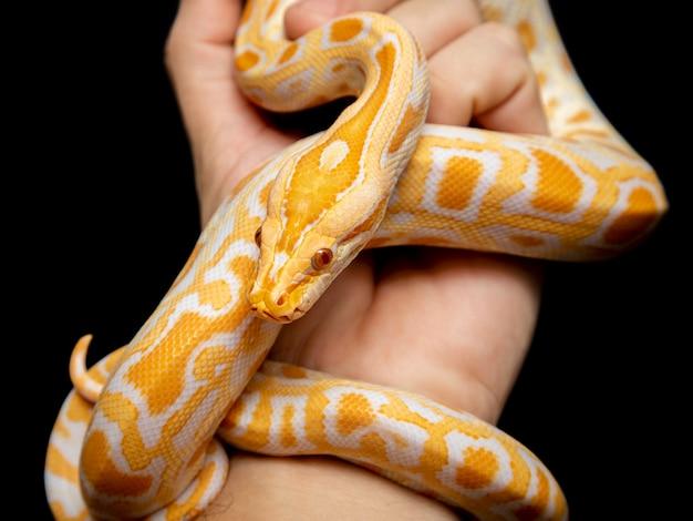 Python molurus bivitattus é uma das maiores espécies de cobras.