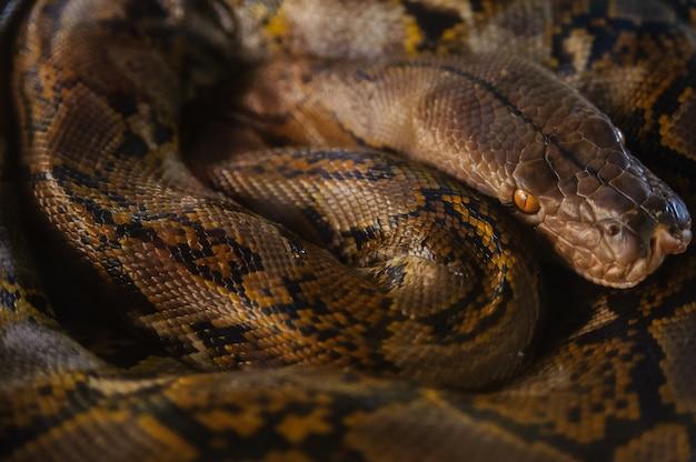 Python que descansa comuta anéis. fazenda de cobra na tailândia.