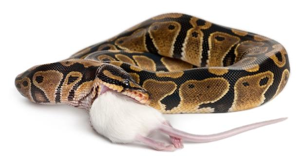 Python royal python, bola python - python regius comendo um rato
