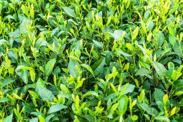 Quadro cheio de campo de chá