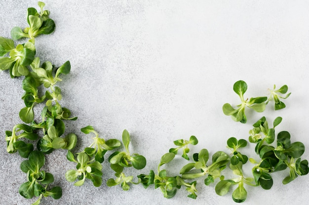 Quadro das folhas frescas da salada de um milho ou da alface de cordeiro novo no fundo cinzento. vista do topo.