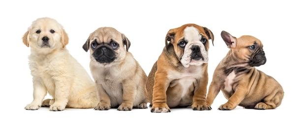Quatro cachorrinhos sentados, isolados no branco