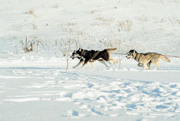 Quatro cães de trenó correm ao longo do campo de neve puxando trenós (trenós atrás do quadro)