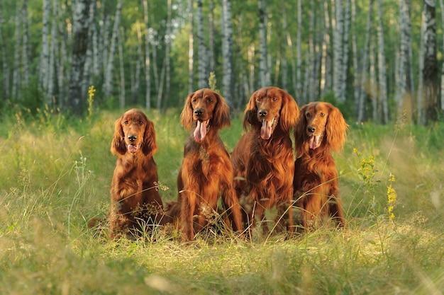 Quatro cães vermelhos sentados no fundo da grama verde em raios de sol, ao ar livre, horizontal