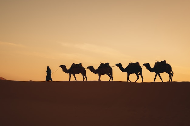 Quatro camelos em uma fileira andando em uma duna com uma luz do nascer do sol nas costas