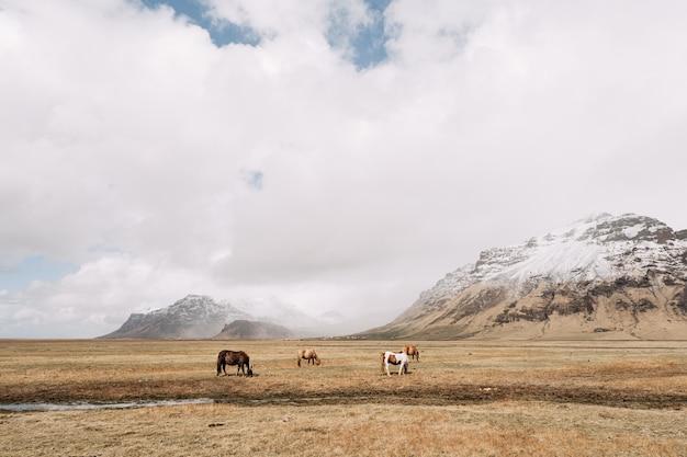 Quatro cavalos pastam no campo contra o pano de fundo de um penhasco nevado, nuvens e céu azul.