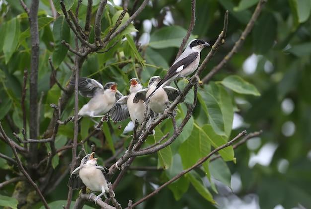 Quatro filhotes de picanço cinza menor (lanius minor) foram fotografados com uma tomada completa em um galho de árvore enquanto eram alimentados por seus pais. situações divertidas e incomuns
