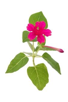Quatro horas ou flor de jalapa mirabilis isolada no fundo branco.