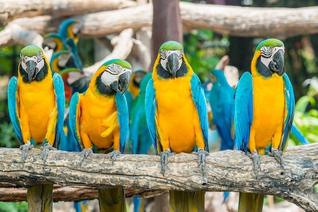 Quatro pássaros azuis e amarelos da arara que sentam-se na filial de madeira. pássaros coloridos da arara na floresta.
