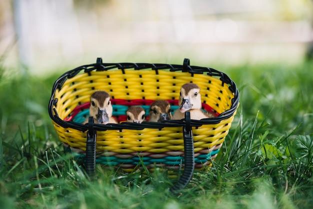 Quatro patinhos espreitando da cesta na grama verde