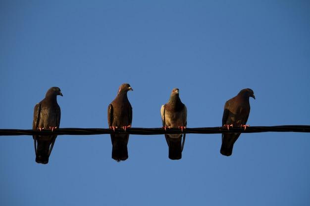 Quatro pombos em um fio