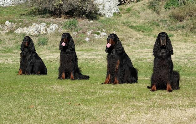 Quatro, pretas, setter inglês, cão