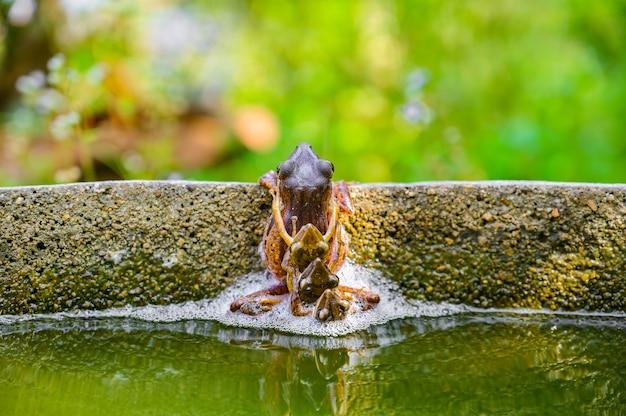 Quatro sapos-sapos emparelhados reproduzindo-se no lago. cena da vida selvagem da natureza