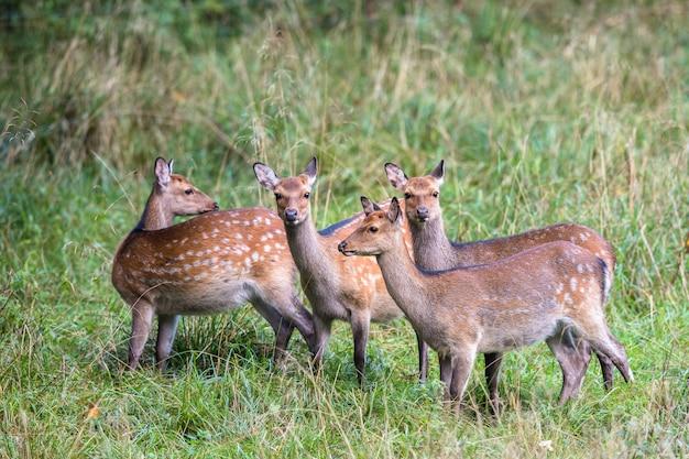 Quatro veados sika fêmeas em uma floresta na dinamarca, europa