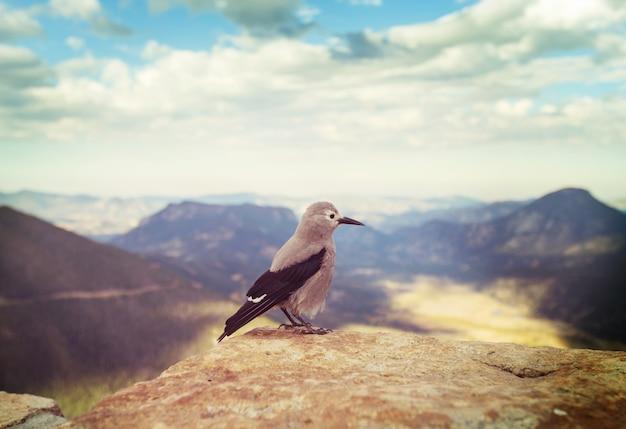 Quebra-nozes de clark nas montanhas rochosas