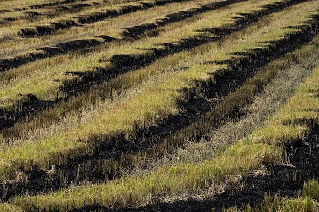 Queima de restolho de arroz nos campos de arroz após a colheita.
