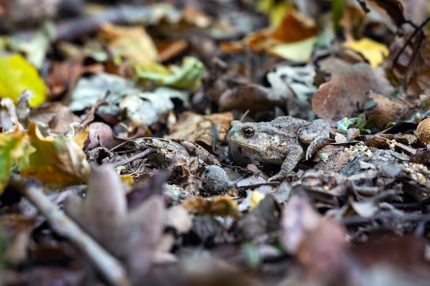 Rã à terra disfarçada entre as folhas e os ramos na floresta.