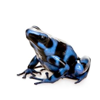 Rã azul e preta de dardo envenenado - auratus de dendrobates em um branco isolado